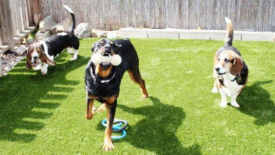 Cỏ nhân tạo sân vườn là sân chơi cho thú cưng